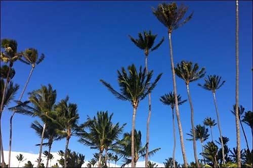 Баттон: Рождественские деревья здесь, на Гавайях, выглядят как-то необычно!